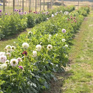 Dahlia Dividing Workshop SATURDAY 26TH JUNE 1PM